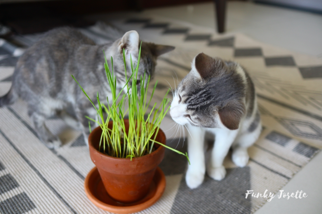 DIY comment fabriquer son herbe a chat